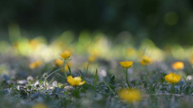 buttercups dancing in the breeze in spring time - ラナンキュラス点の映像素材/bロール