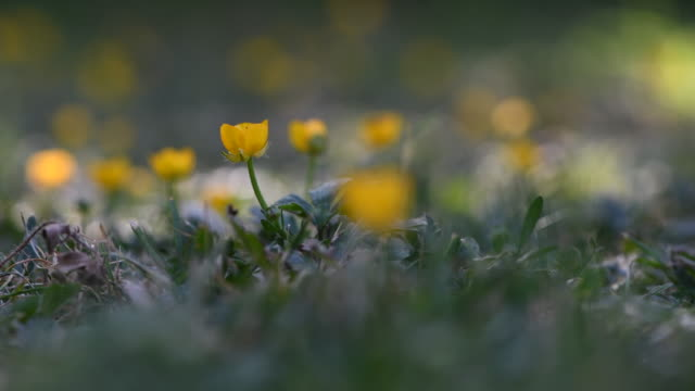 buttercups dancing in the breeze in spring time - ranunculus stock videos & royalty-free footage