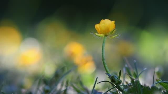 buttercups dancing in the breeze - ラナンキュラス点の映像素材/bロール