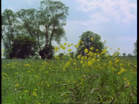 buttercups in meadow, england, uk - ranunculus stock videos & royalty-free footage