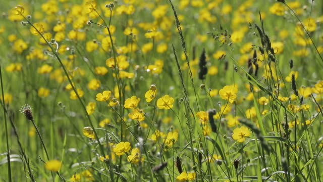 stockvideo's en b-roll-footage met buttercups, peak district national park, derbyshire, england uk, europe - ranonkel
