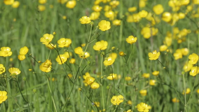 Buttercups, Peak District National Park, Derbyshire, England UK, Europe