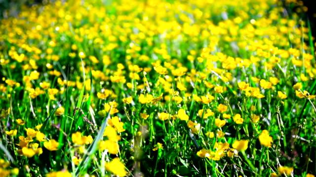 buttercups - ラナンキュラス点の映像素材/bロール