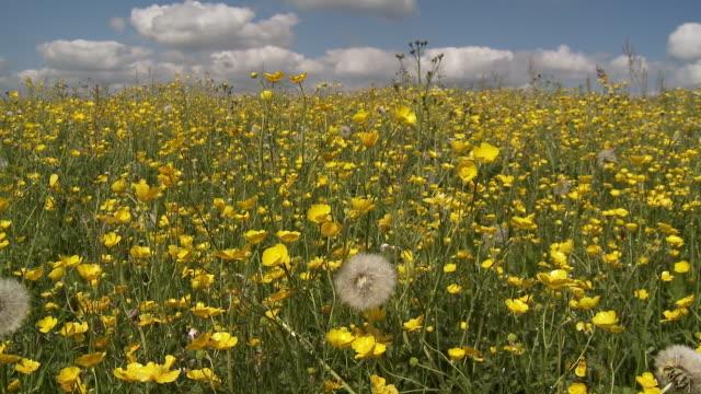 vídeos y material grabado en eventos de stock de buttercups - ranúnculo