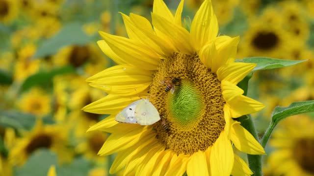 schmetterlinge und honigbienen saugen honig aus sonnenströmung - viele gegenstände stock-videos und b-roll-filmmaterial