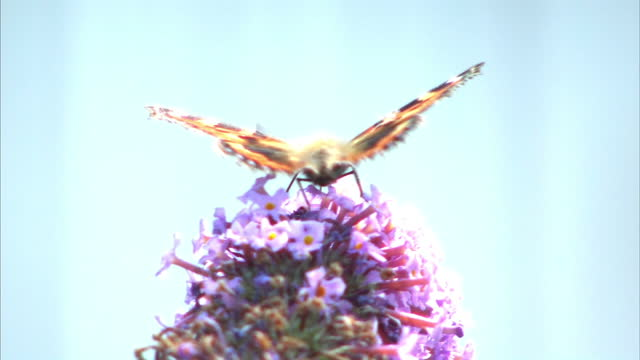 butterflies and bees have been badly affected by the uk's unsettled weather this year, according to a study by the national trust. the research also... - national trust video stock e b–roll