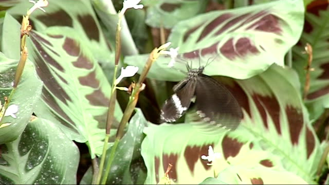 butterflies at the royal horticultural society's gardens at wisley; seq exotic butterflies feeding on plant's nectar green tropical plants red and... - 英国王立園芸協会点の映像素材/bロール