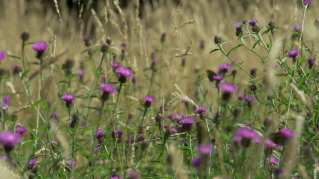 butterflies, bees and other insects land on thistle flowers - inquadratura fissa video stock e b–roll