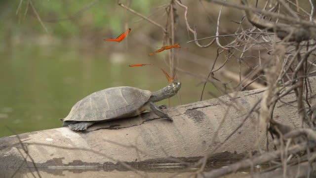Butterflies collect salt from an Amazon River Turtle basking on a log in the Peruvian Amazon.