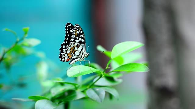 Farfalle mangiare Polline