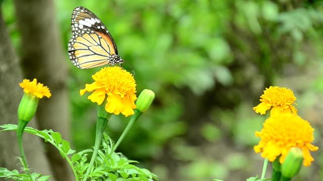 Butterflies eat pollen
