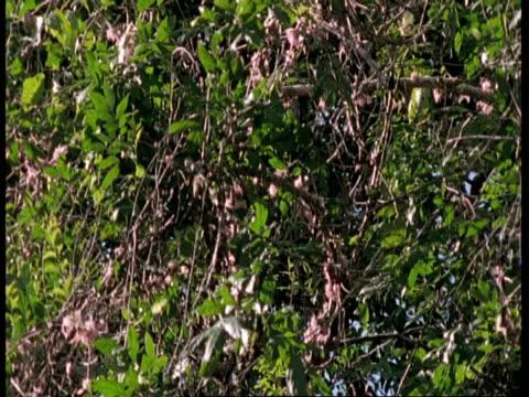 vídeos y material grabado en eventos de stock de ms butterflies flitting around rainforest trees, south america - región del amazonas