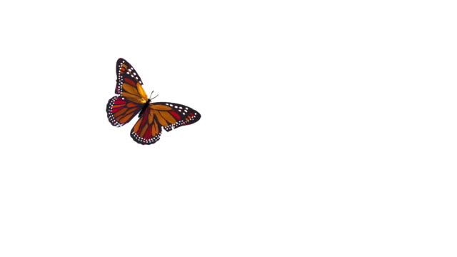butterflies flying - butterfly stock videos & royalty-free footage