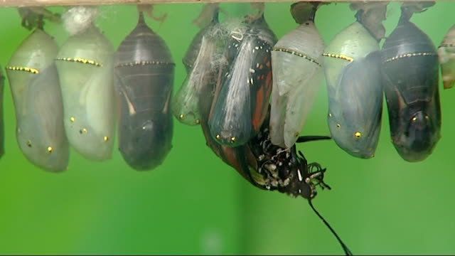 butterflies hatching from cocoon - puppe stock-videos und b-roll-filmmaterial