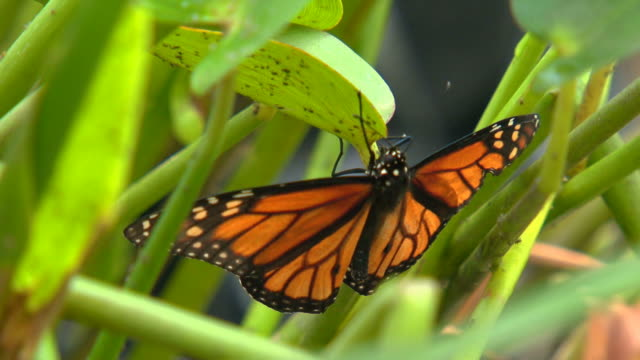 butterflies hiding in the tropical greenery