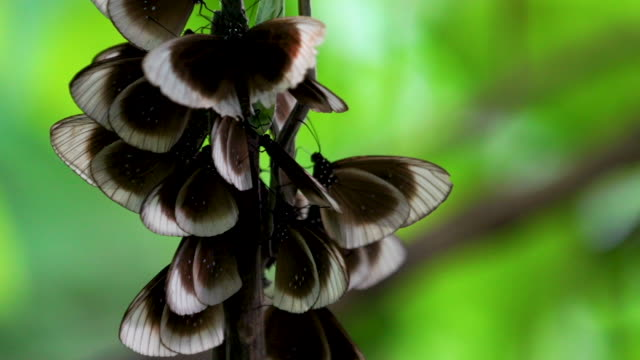 butterflies in a communal roost, ext close, real time - papua stock videos and b-roll footage