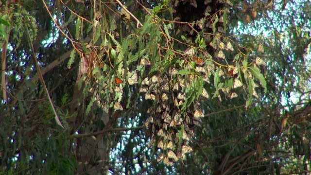 butterflies looking like leaves on a tree - camouflage stock videos & royalty-free footage