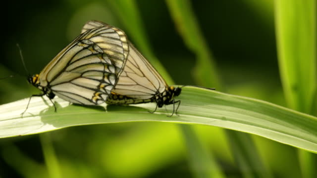 butterflies mate in nature. - two animals stock videos & royalty-free footage