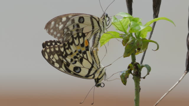 butterflies mating - two animals stock videos & royalty-free footage