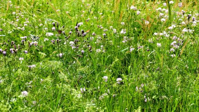 schmetterlinge auf blütenwiese im sommerwind - wildblume stock-videos und b-roll-filmmaterial