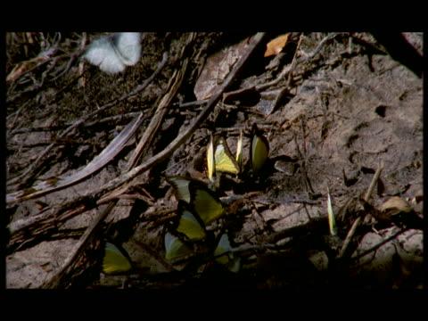 cu, pan, butterflies on ground by forest creek, china - kleine gruppe von tieren stock-videos und b-roll-filmmaterial