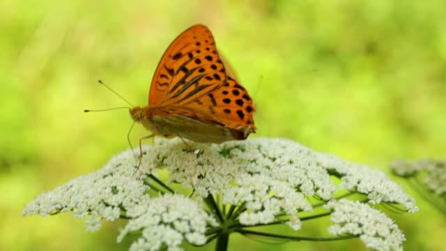 Schmetterlinge Pollinating Blume