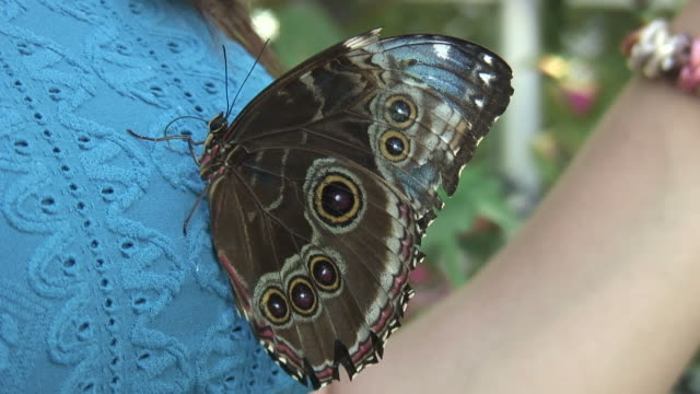 vídeos de stock e filmes b-roll de borboleta/24 hd 1080 60i - grupo mediano de animales