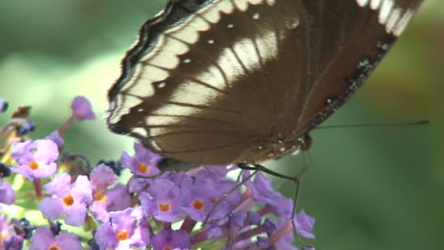vídeos de stock e filmes b-roll de borboleta/30 hd 1080 60i - um animal