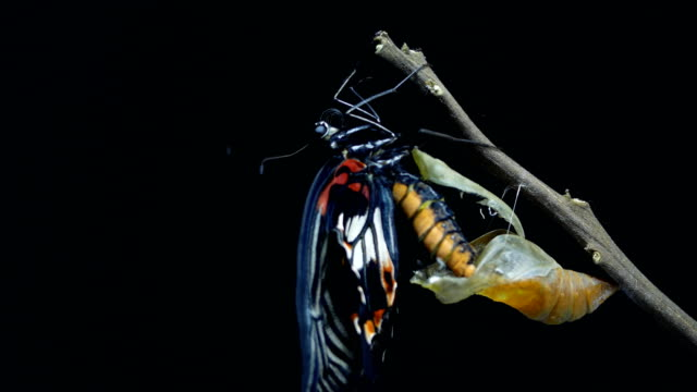 butterfly after emerging from chrysalis 4k - emergence stock videos & royalty-free footage