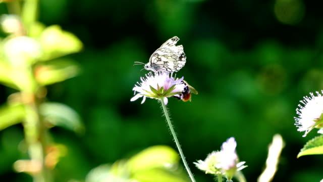 schmetterling und hummel auf blüte im sommerwind - wildblume stock-videos und b-roll-filmmaterial