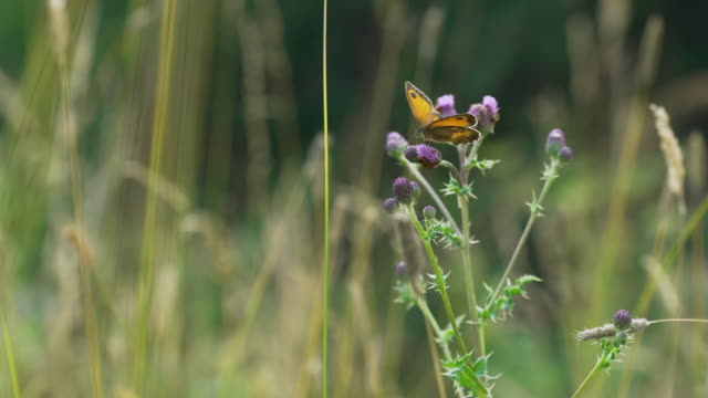 butterfly and other insects feed on flowers in meadow - wildflower stock videos & royalty-free footage