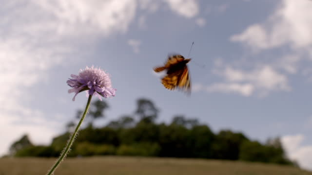 butterfly and small wildflower near a copse, uk - farfalla video stock e b–roll