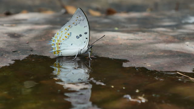 butterfly (jewelled nawab) are eat mineral on the ground. - ala di animale video stock e b–roll