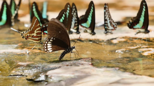 Butterfly are eat mineral on the ground.