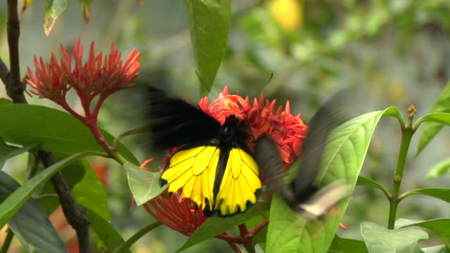ms butterfly at flower in butterfly park / kuala lumpur, malaysia - malaysia stock videos & royalty-free footage