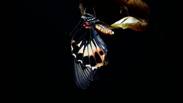 vidéos et rushes de fond noir papillon - cocon
