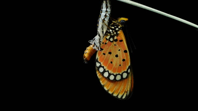butterfly black background - chrysalis butterfly ball video stock e b–roll