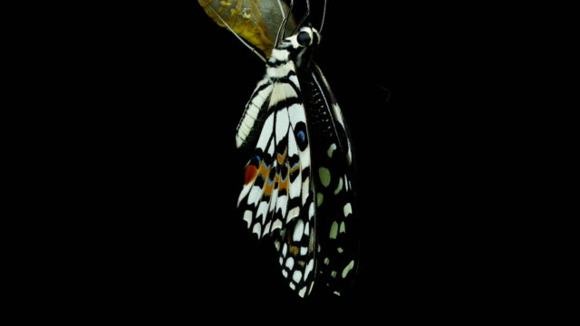 butterfly black background - animal wing stock videos & royalty-free footage