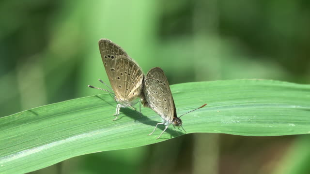 Butterfly breeding on a leaf