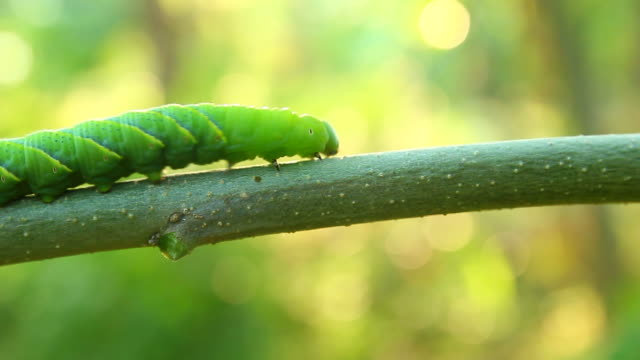 butterfly caterpillar crawling on a branch - worm stock videos and b-roll footage