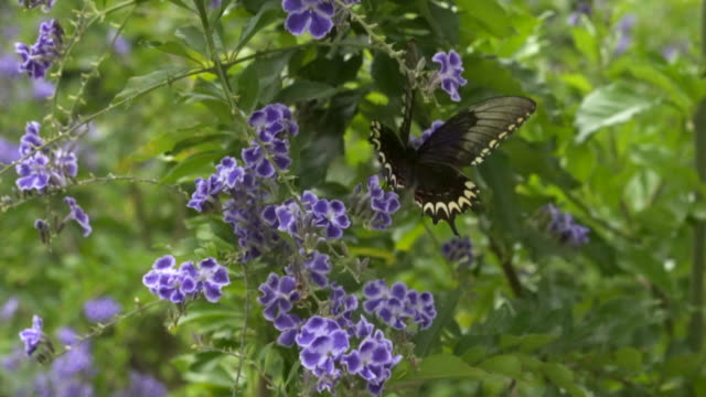 a butterfly collecting nectar - brasile meridionale video stock e b–roll