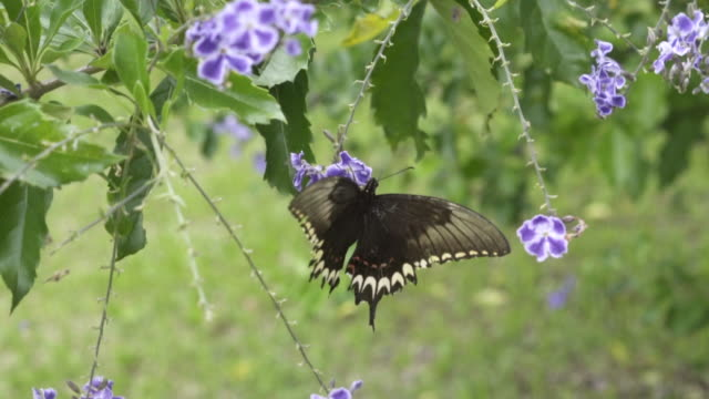 A butterfly collecting nectar