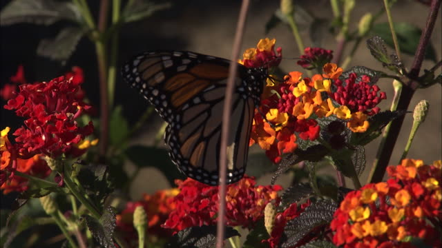 a butterfly collects pollen from a cluster of blossoms. - ragged point stock videos and b-roll footage