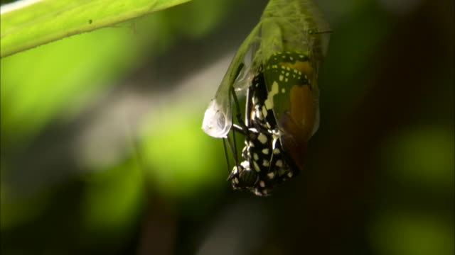 butterfly emerges from chrysalis, malaysia. - emergence stock videos & royalty-free footage