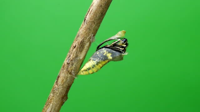 butterfly emerging chrysalis butterfly ball green screen background - emergence stock videos & royalty-free footage