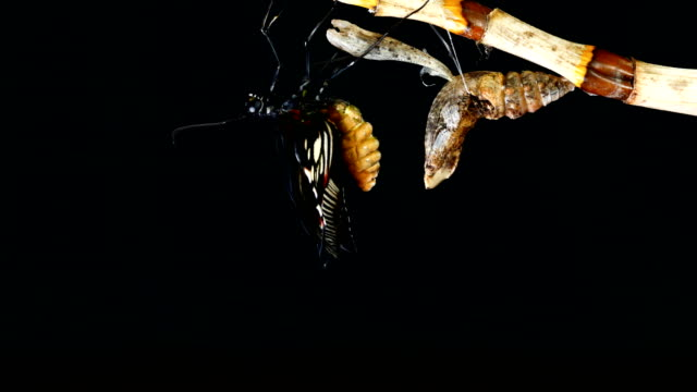 butterfly emerging chrysalis butterfly ball time lapse - farfalla video stock e b–roll