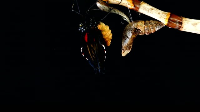 butterfly emerging chrysalis time lapse c4k - emergence stock videos & royalty-free footage
