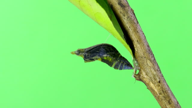 butterfly emerging form cocoon green screen time lapse - farfalla video stock e b–roll