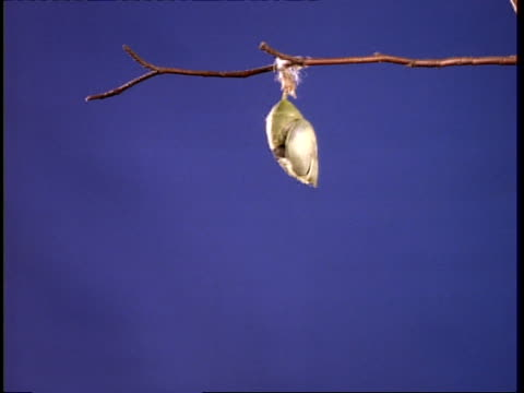 t/l butterfly emerging from chrysalis, cu, wings expand, against blue screen - emergence stock videos & royalty-free footage