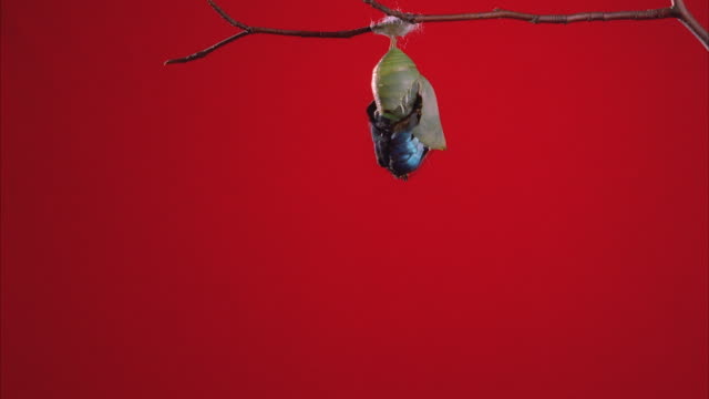 ms, butterfly (morpho peleides) emerging from chrysalis - emergence stock videos & royalty-free footage